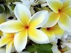 thai-frangipani